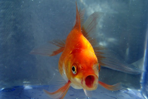A goldfish now has a better attention span than you